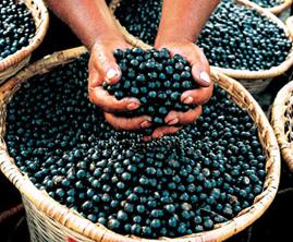 Acai Berry Internet Marketing Revolution