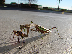 Praying mantis eating cricket
