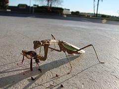 Praying mantis eating cricket